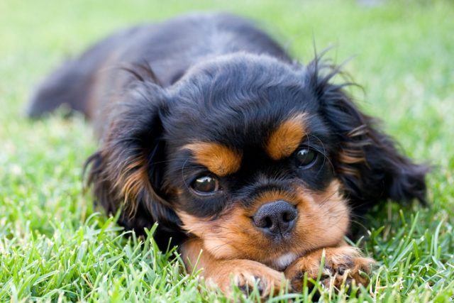 A Cavalier King Charles Spaniel puppy lying in the grass