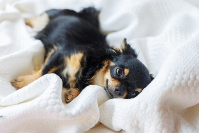 Chihuahua dog lying on the bed with white background.