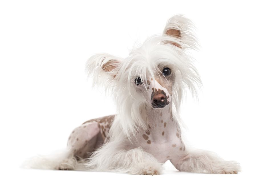 Chinese Crested Dog lying down and looking at the camera, isolated on white (10 months old)