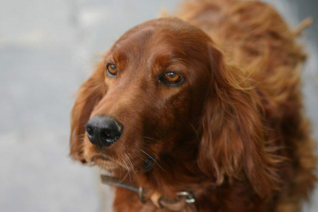 The Irish setter is one of the most difficult dog breeds to train