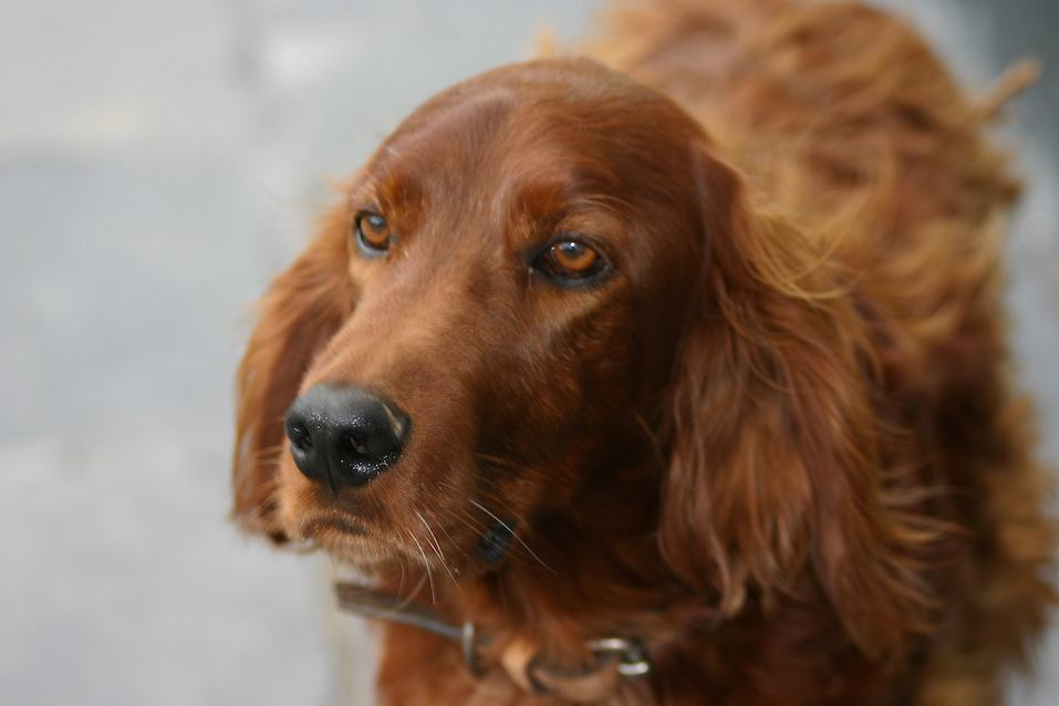 Close-up of Dog, Irish Setter