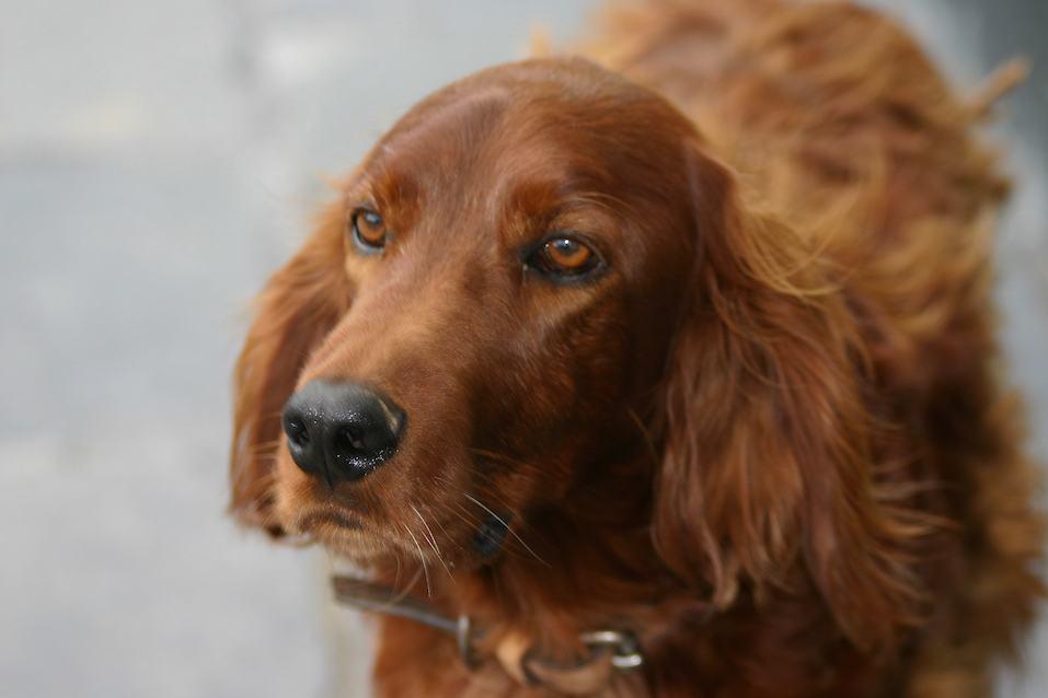 Close-up of Dog, Irish Setter