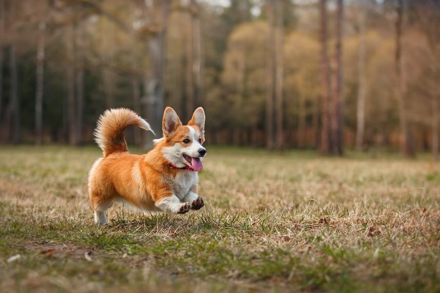 Dog breed Welsh Corgi Pembroke