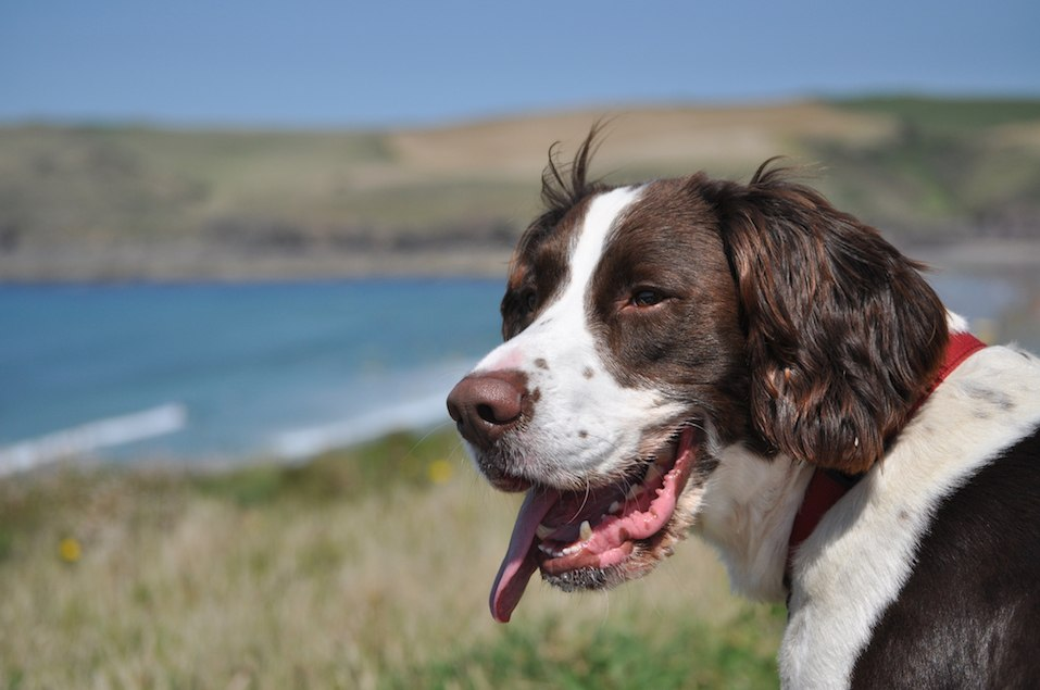English Springer Spaniel Portrait