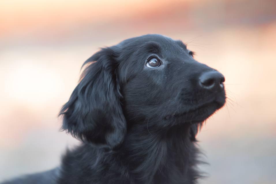 black flat coated retriever puppy looking upwards.