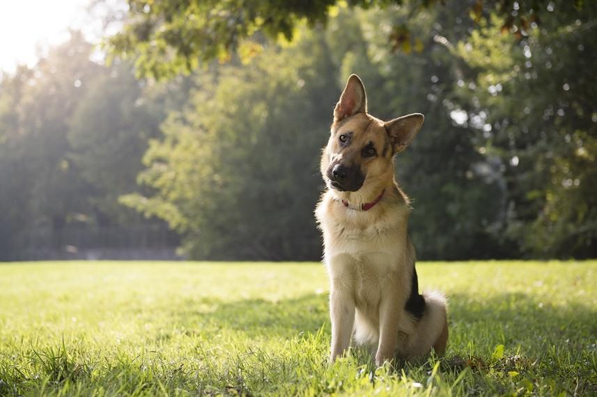 German shepherd sitting on grass