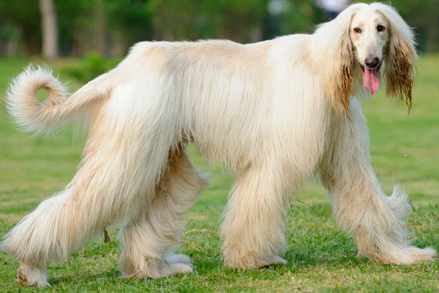 afghan hound walking outside