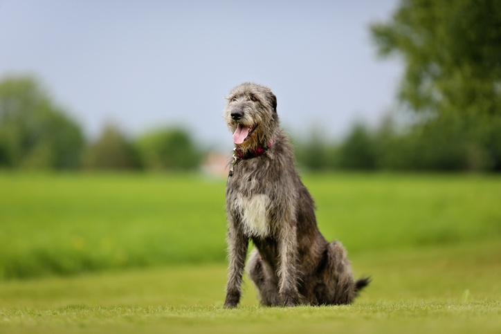 Large purebred Irish Wolfhound dog outdoors on a sunny day