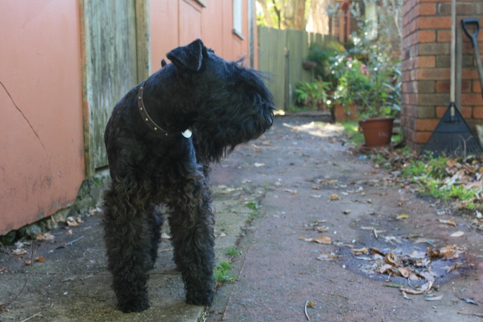 Kerry Blue Terrier dog in an alleyway