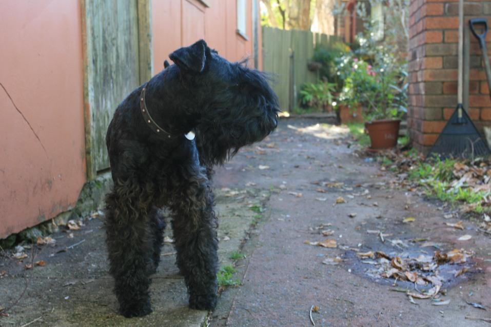 Kerry Blue Terrier dog in an alleyway
