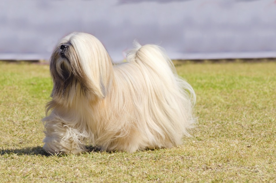The long haired, bearded Lasa dog has heavy straight long coat and is a companion dog.