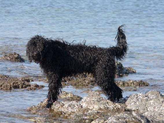 Portuguese water dog in the water