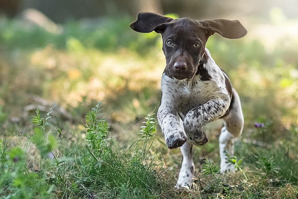 Puppy Running Towards The Camera