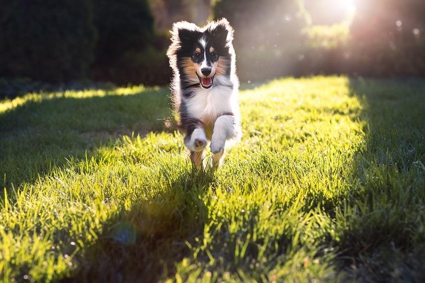 A happy Shetland sheepdog puppy running in a park