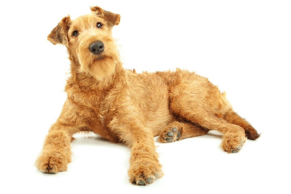 Purebred dog Irish Terrier five months old lying on a white background, focused on eyes