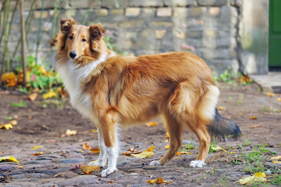 Sable rough Collie dog standing outdoors around fallen maple leaves in autumn
