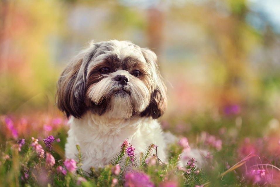 Shih tzu in nature, colorful springtime image
