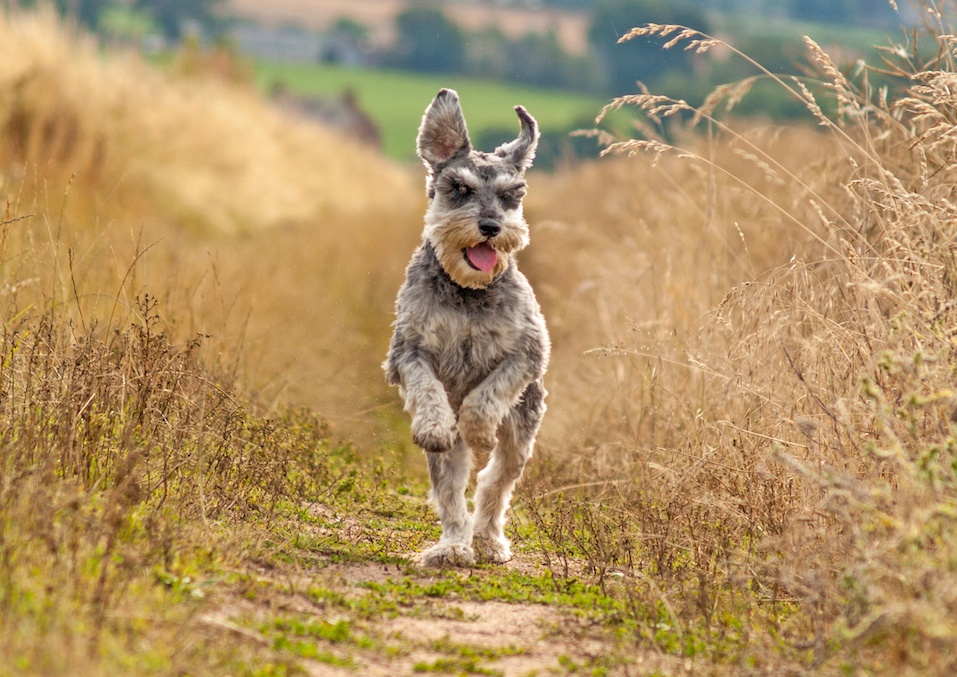 Schnauzer running in grass
