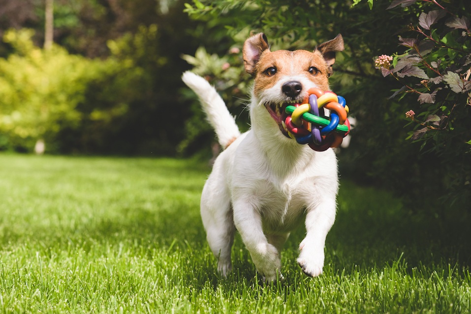 Terrier playing with a colourful ball