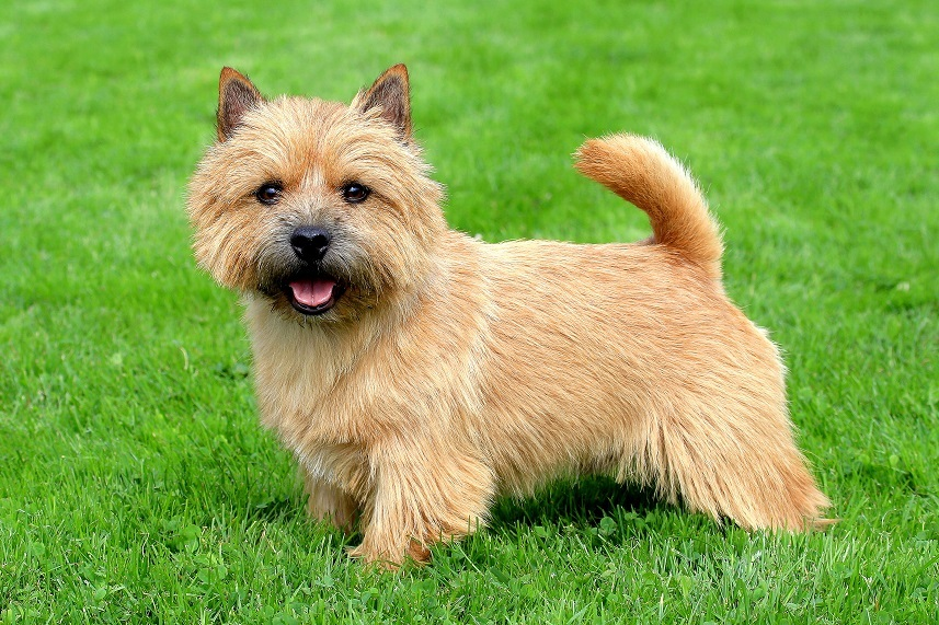 Norwich Terrier in a garden