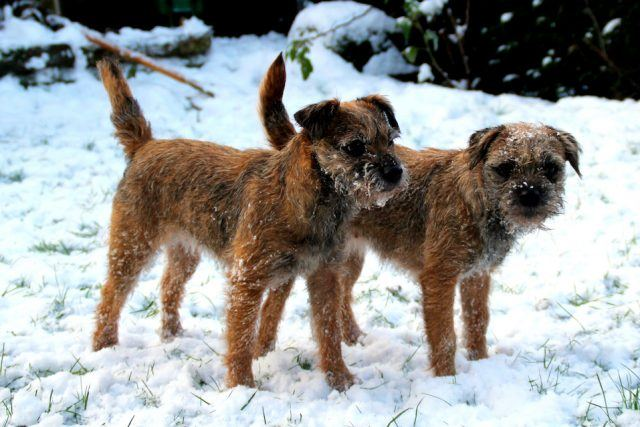 Two border terriers in the snow
