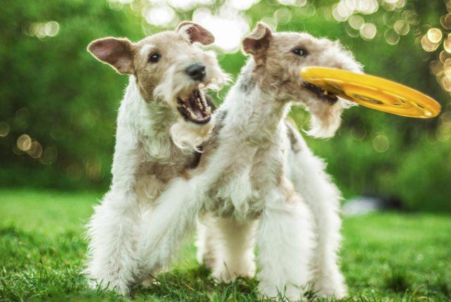 The fox terrier is one of the most difficult dog breeds to train