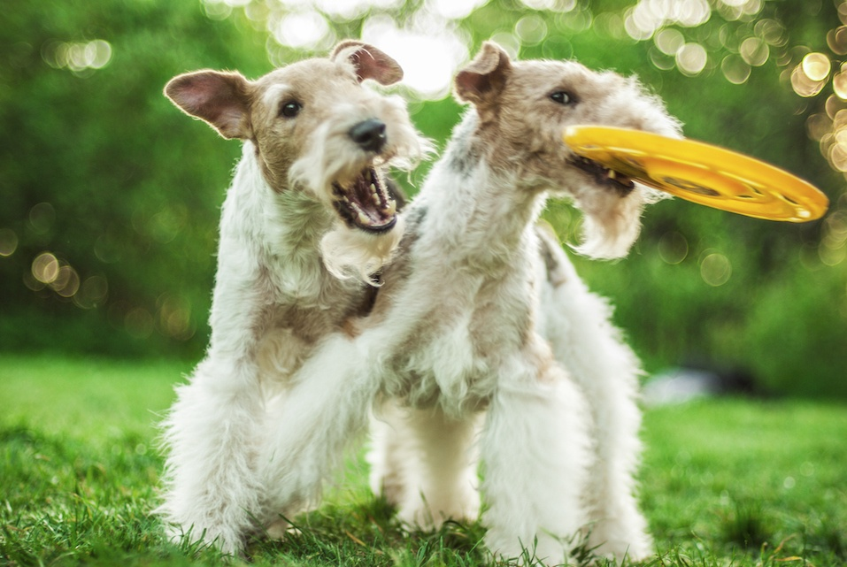 Two Fox-Terriers play with a frisbee