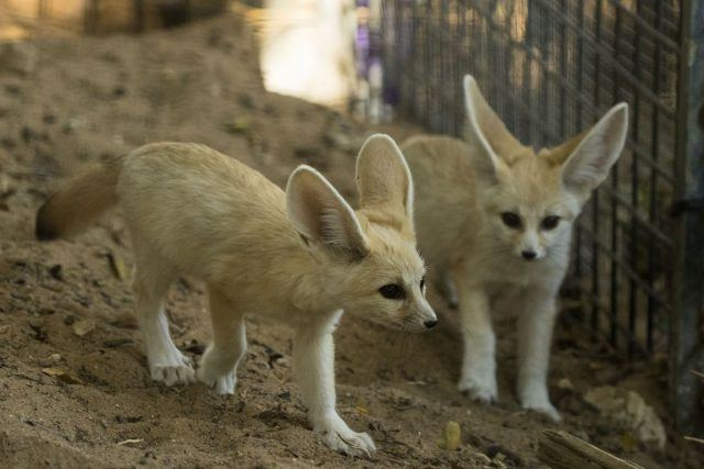 Two fennec foxes at the Ramat Gan Safari zoo