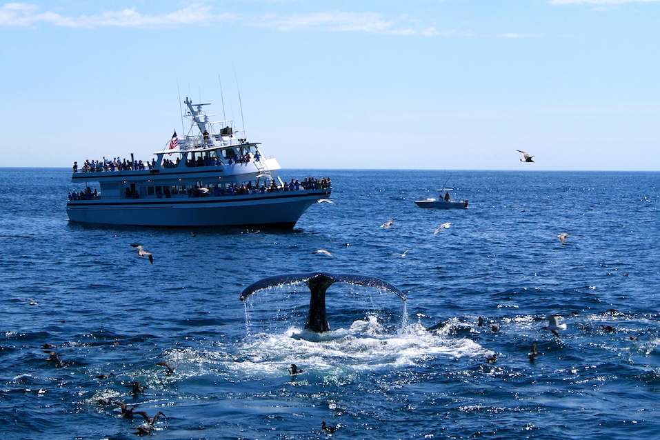 A whale watching cruise boat takes tourists to watch whales off Provincetown,