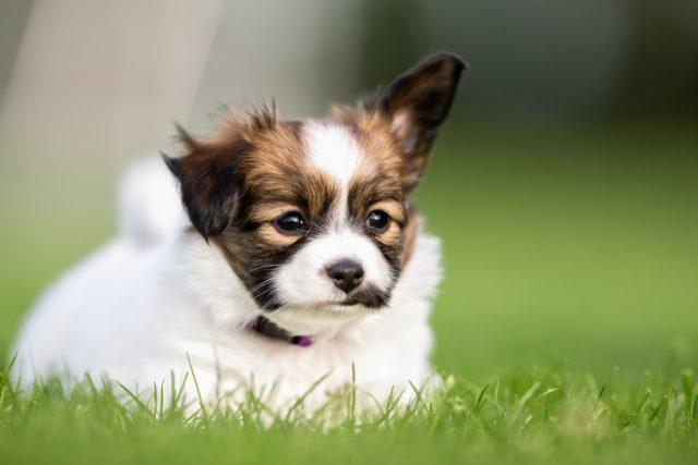 Young papillon dog puppy