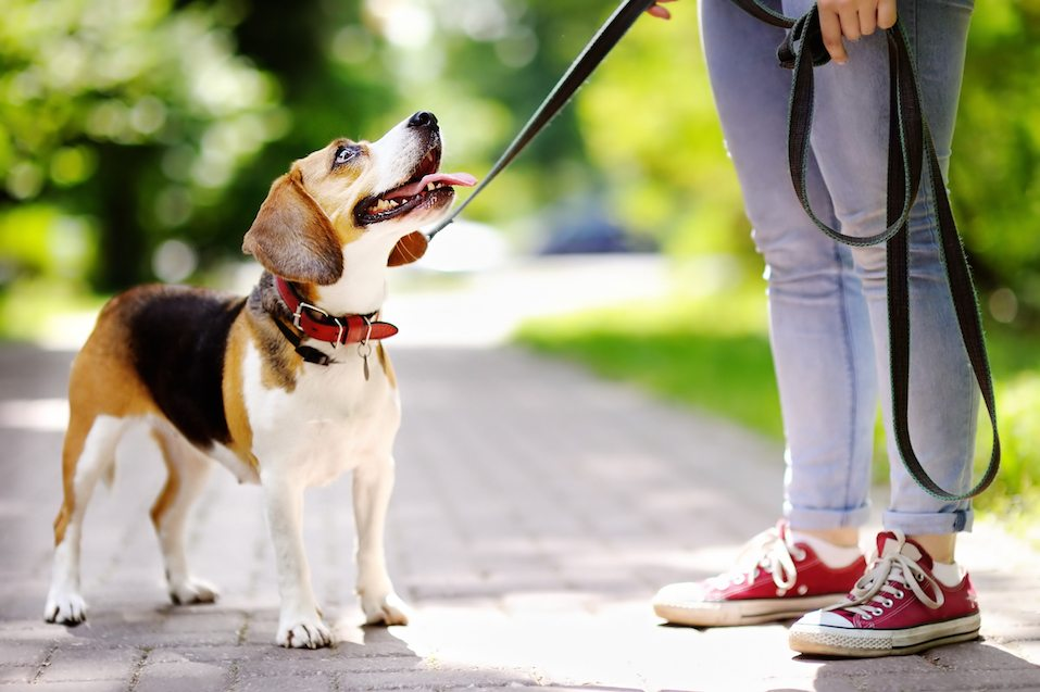 person walking beagle