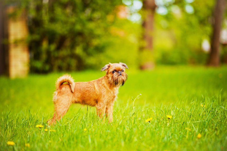 brussels griffon dog outdoors
