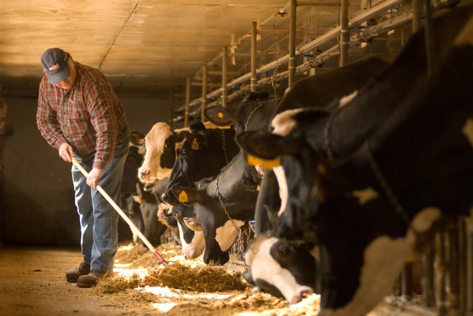 tending cows