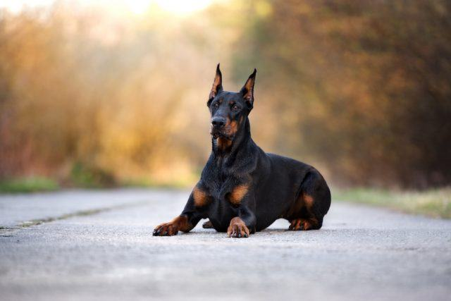 doberman dog outdoors