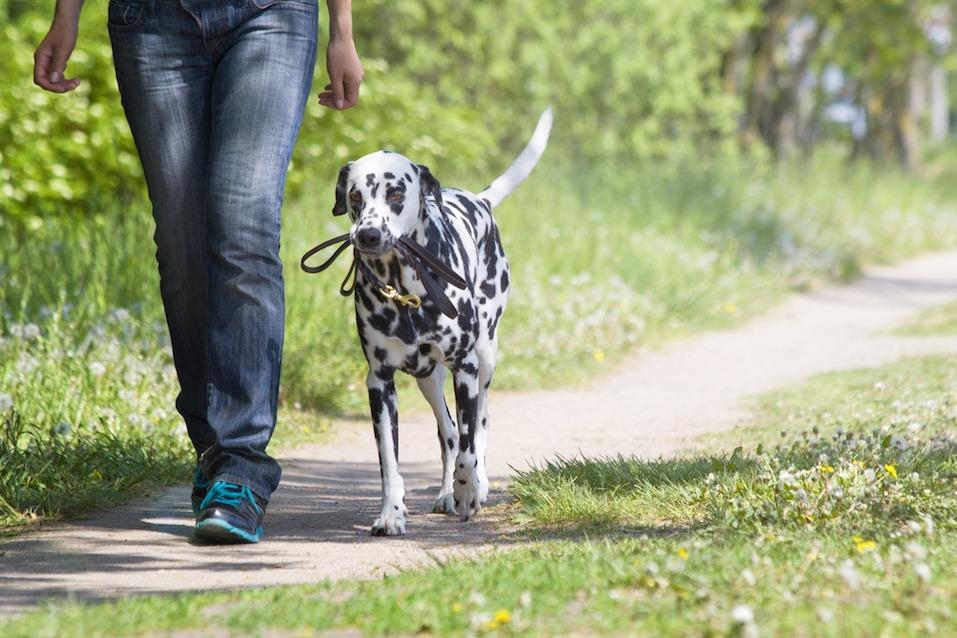 dalmation walking wth owner