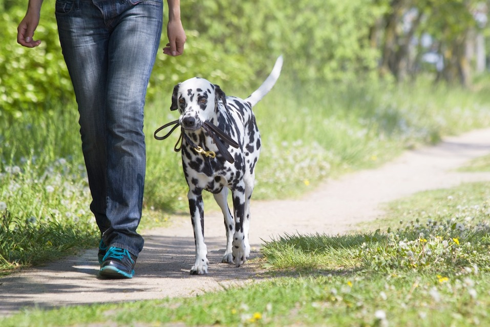 a person and a dalmatian walk together on a trail