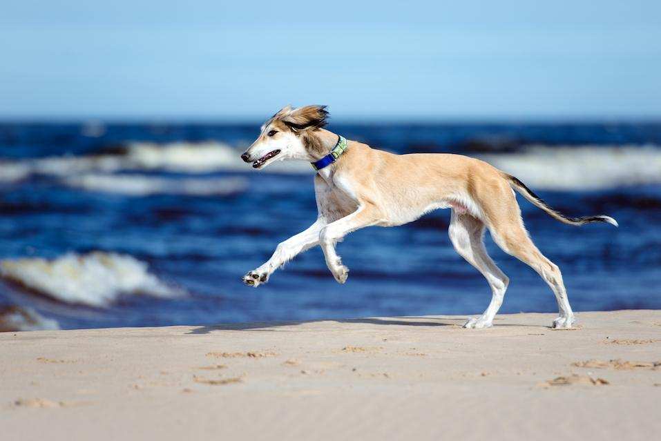 saluki puppy on a beach