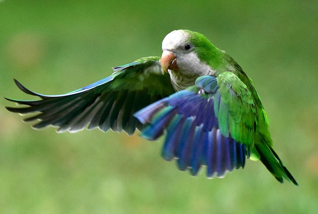A monk parakeet