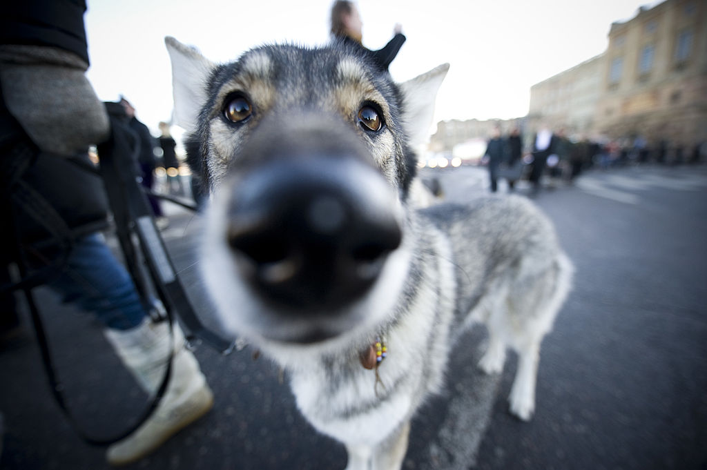 A wolfdog is seen during a demonstration