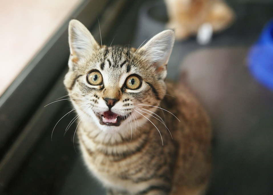 tabby cat meowing