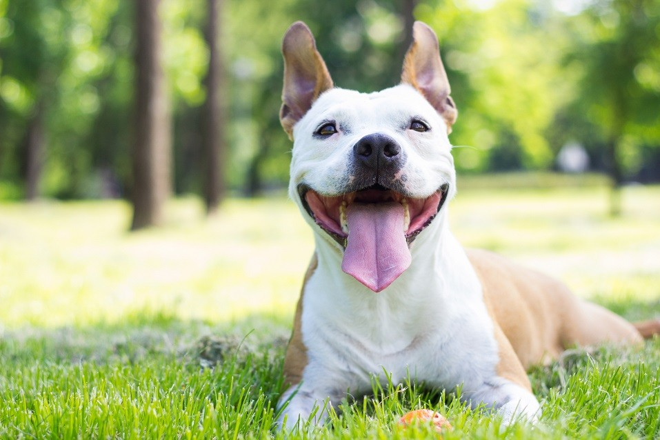 American Staffordshire terrier lying in grass