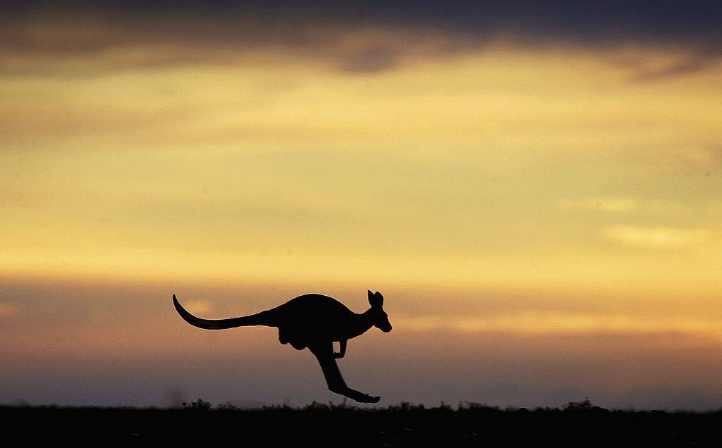 A kangaroo hops through the Outback landscape