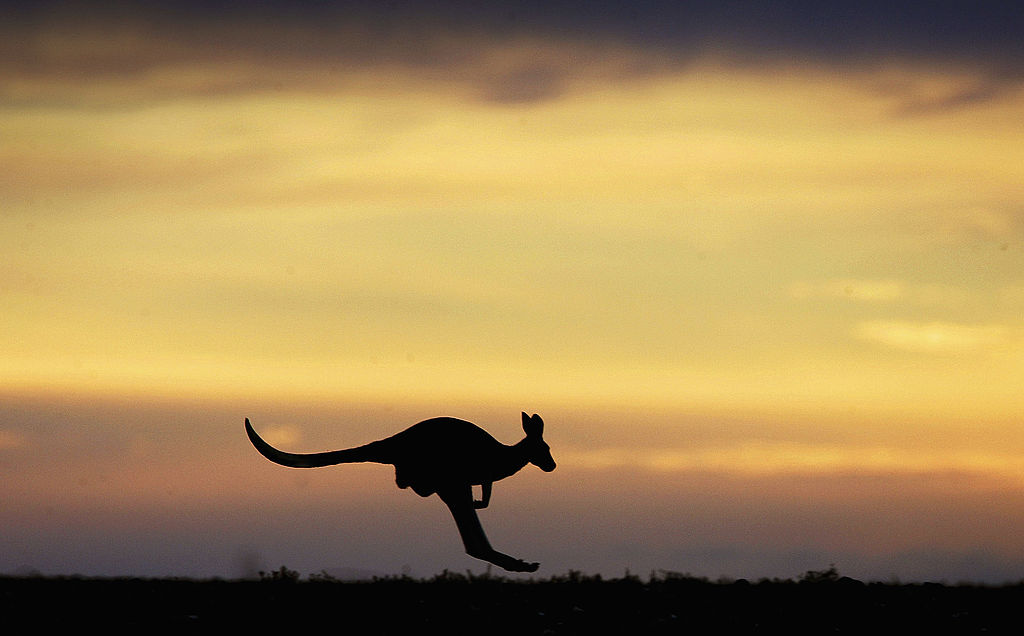 A kangaroo hops through the Outback landscape