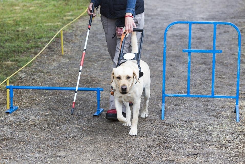golden retriever guide dog