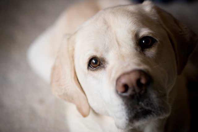 Side lighting on blonde labrador retriever looks at camera from an indoor home setting