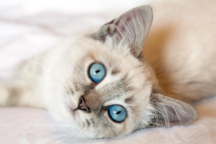 kitten with blue eyes