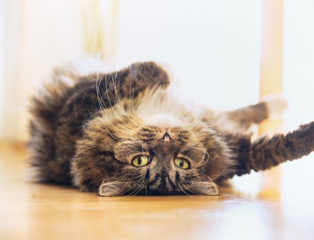 Cat lying relaxed on his back and looking into camera