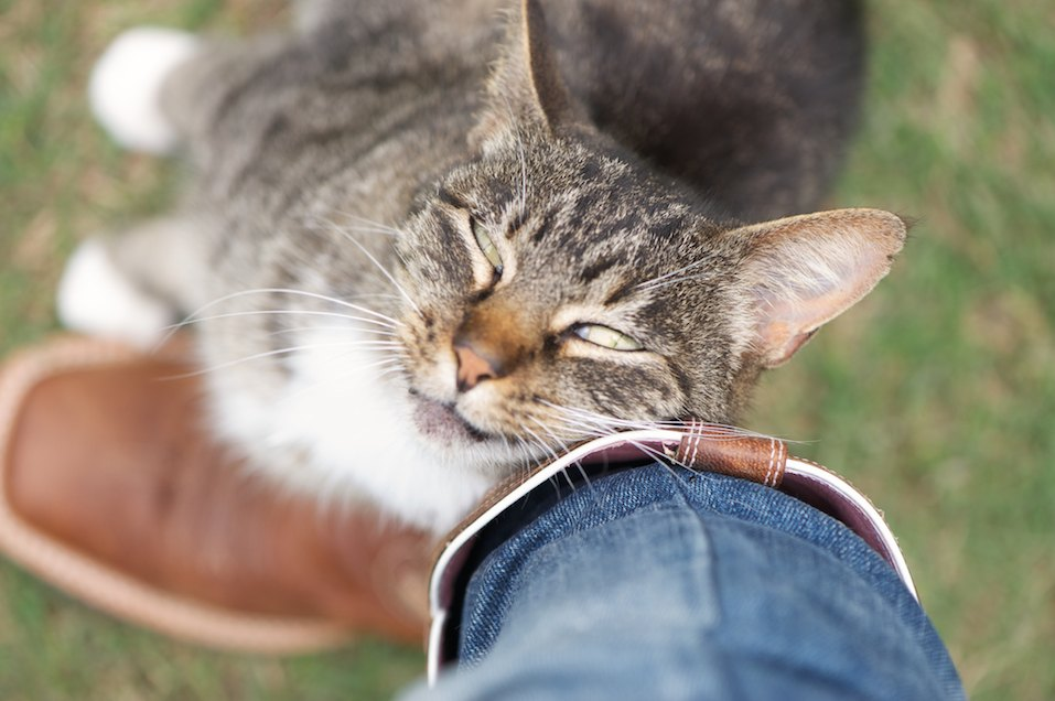 Grey and white striped cat rubbing or cuddling against brown cowboy boots and jeans affectionately