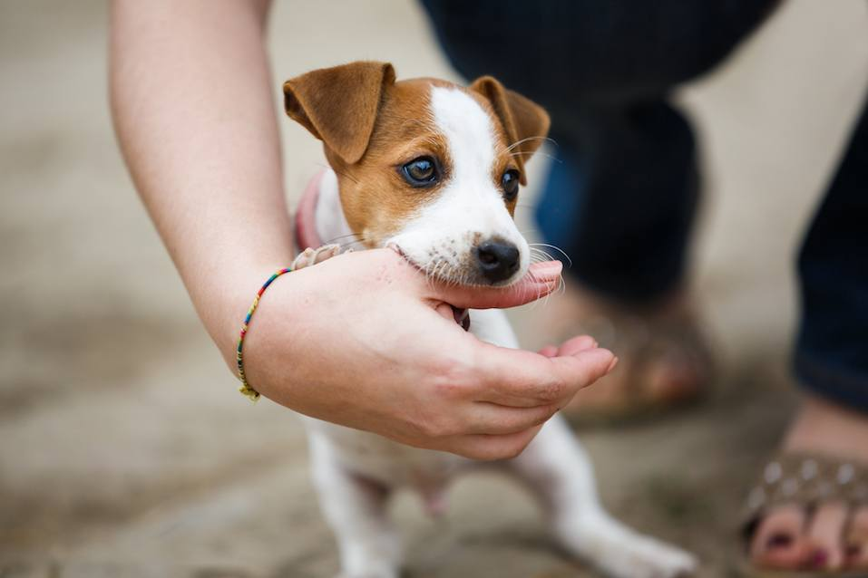 Jack Russell terrier playfully biting the fingers of its owner