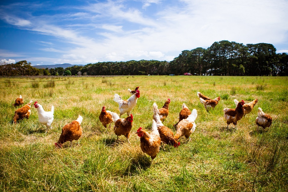 A flock of chickens roam freely